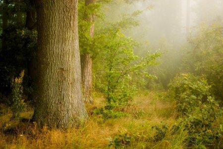 Photo pour Forêt brumeuse - image libre de droit