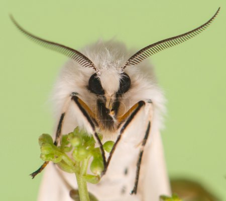 Night butterfly - Spilosoma lubricipeda...