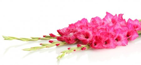 beautiful bouquet of pink gladioluses, isolated on white