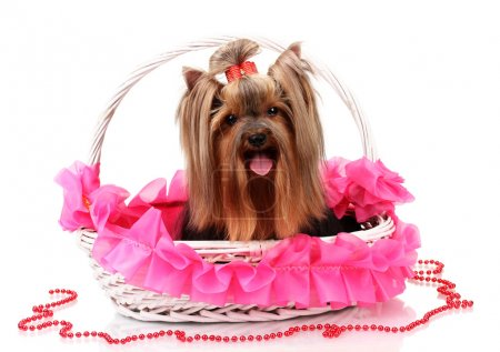 Beautiful yorkshire terrier in basket isolated on white