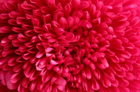 pink aster flower, close up