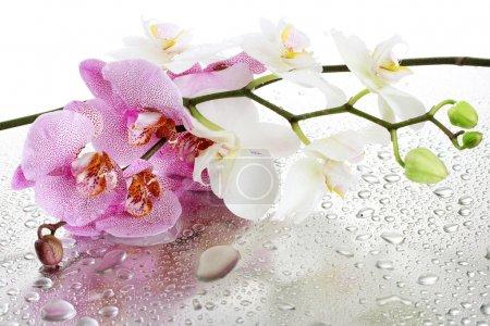 Foto de Hermosas orquídeas blancas y rosadas con gotas - Imagen libre de derechos