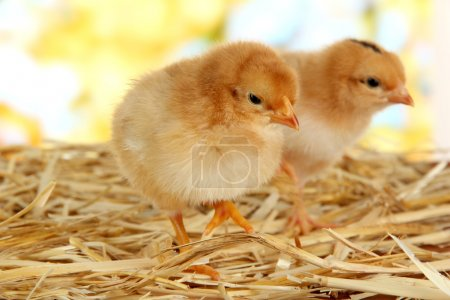 Little chickens on straw on bright background