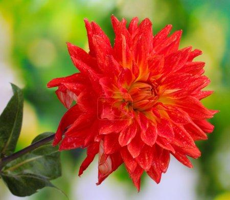 Foto de Flor de Dalia roja otoñal en el jardín - Imagen libre de derechos