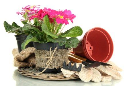Photo pour Belles primulas roses dans des pots de fleurs et des outils de jardinage, isolées sur blanc - image libre de droit
