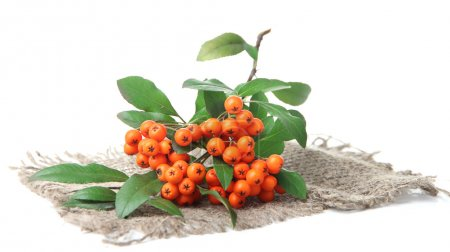 Pyracantha Firethorn orange berries with green leaves, on sackcloth, isolated on white