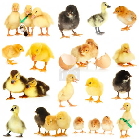 Collage of cute little chickens and ducklings