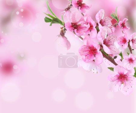 Photo pour Belle fleur de pêche rose sur fond lumineux - image libre de droit