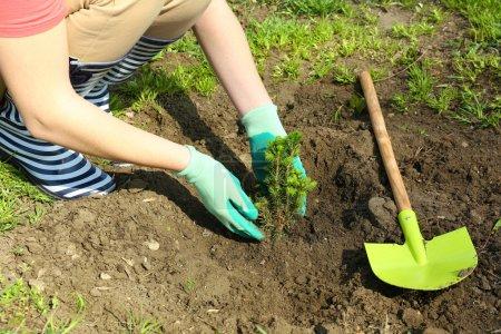 Gardener planting tree in spring
