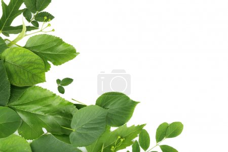 Green leaves isolated on white