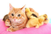 Red cat with cute ducklings on pink pillow