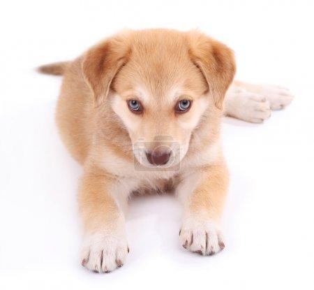 Little cute Golden Retriever puppy
