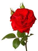 "Постер, картина, фотообои ""красная роза"""