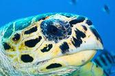 Hawksbill turtle portrait