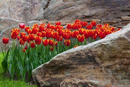Red tulips in a flower bed of rocks