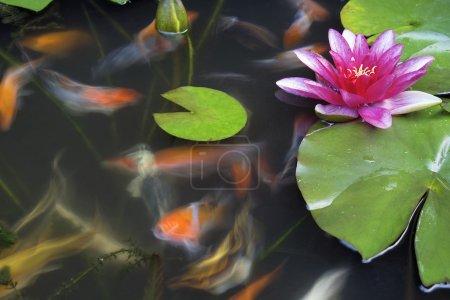 Photo pour Koi poissons qui nagent dans l'étang aux nénuphars fleur et lilypad longue exposition - image libre de droit