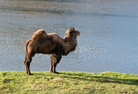 camel in zoological garden