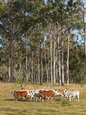 Photo pour Bovins de boucherie australien troupeau de vaches sur ranch avec grands eucalyptus gomme arbre forestier fond - image libre de droit