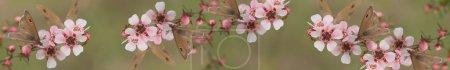 Photo pour Bannière australienne panoramique pour smartphome et tablette avec des fleurs naturelles vivantes de papillon sauvage et de leptospernum d'Australie - image libre de droit