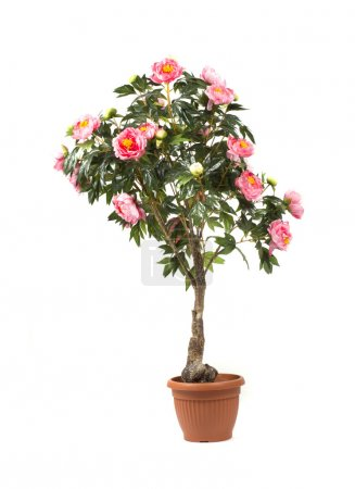 Rose tree in a pot on white background