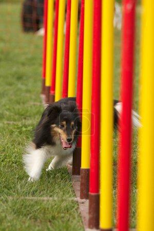 Agility dog...