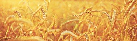 Photo pour Champ de blé. fond naturel - image libre de droit