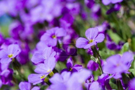 Photo pour Flowe violet - image libre de droit