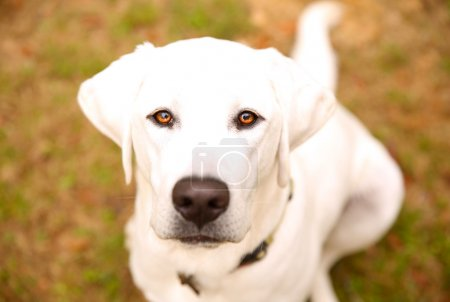 Photo for White labrador retriever awaiting instruction closeup - Royalty Free Image