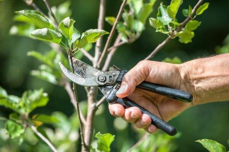 Photo pour Élagage des arbres avec sécateur dans le jardin - image libre de droit