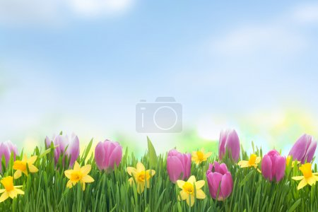 Photo for Spring narcissus and tulips flowers in green grass on blue sky background - Royalty Free Image