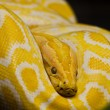 Close up of Golden Thai Python, focus at eyes...