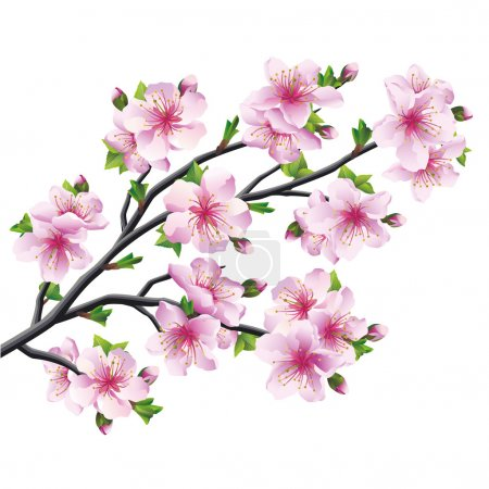 Illustration for Japanese tree sakura, pink cherry blossom isolated on white background. Vector illustration - Royalty Free Image