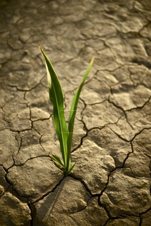 There is Hope. Small Plant on the Cracked Dry Land...