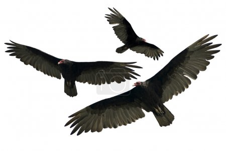Turkey Vulture Isolated