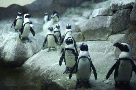 Photo pour Pinguins arctiques sur les rochers - image libre de droit