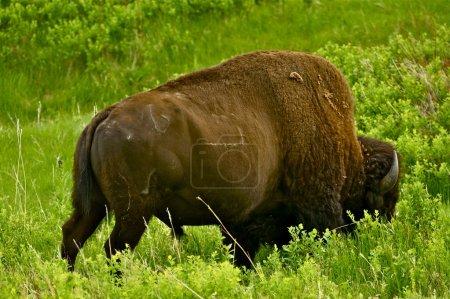 Photo pour American buffalo - bison dans le custer state park, dakota du Sud, Etats-Unis d'Amérique. bisons ont été introduits dans de nombreux endroits à travers l'Amérique du Nord. photographie horizontale de bisons d'Amérique. - image libre de droit