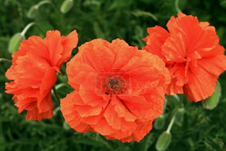 Three red horticultural poppy closeup