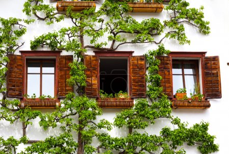 Windows on a white wall and tree
