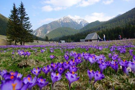 Crocuses in Chocholowska valley, Tatra Mountains i...
