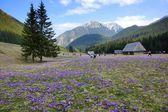 Crocuses in Chocholowska valley, Tatra Mountains, Poland