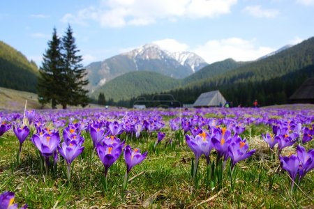 Crocuses in Chocholowska valley, Tatra Mountains in Poland