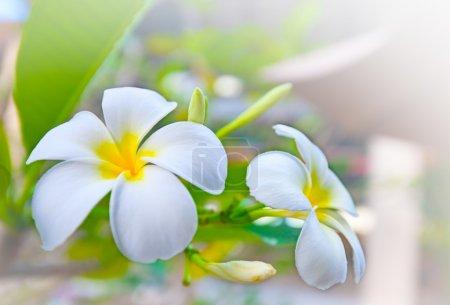Photo pour Fleurs frangipani blanches avec fond dégradé blanc - image libre de droit
