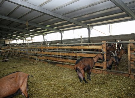 In a farm where goats and sheep are reared for the production of