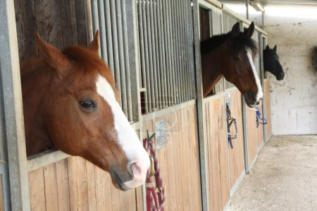 mighty horse stallions in the enclosure of a barn of a riding sc