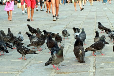 legs in the summer and many pigeons and doves in the Italian pia