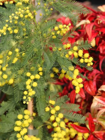 Mimosa with the background of Red leaves