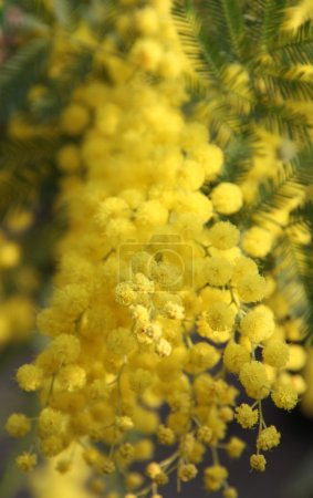 Yellow Mimosa to give women in the international women's day