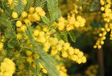 Mimosa Bush to give all women during international women's day
