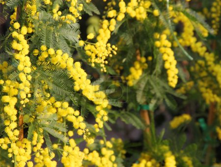 Mimosa Bush to give all women during international women's day o