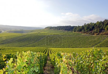 Vineyards of Chablis, vines near Auxerre, Burgundy...